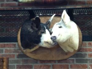 Kissing Pigs
